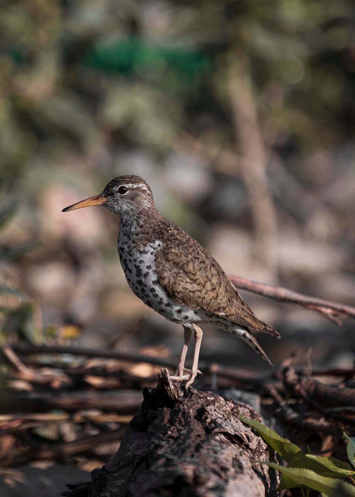 2019-07-21 Inglewood Bird Sanctuary 10